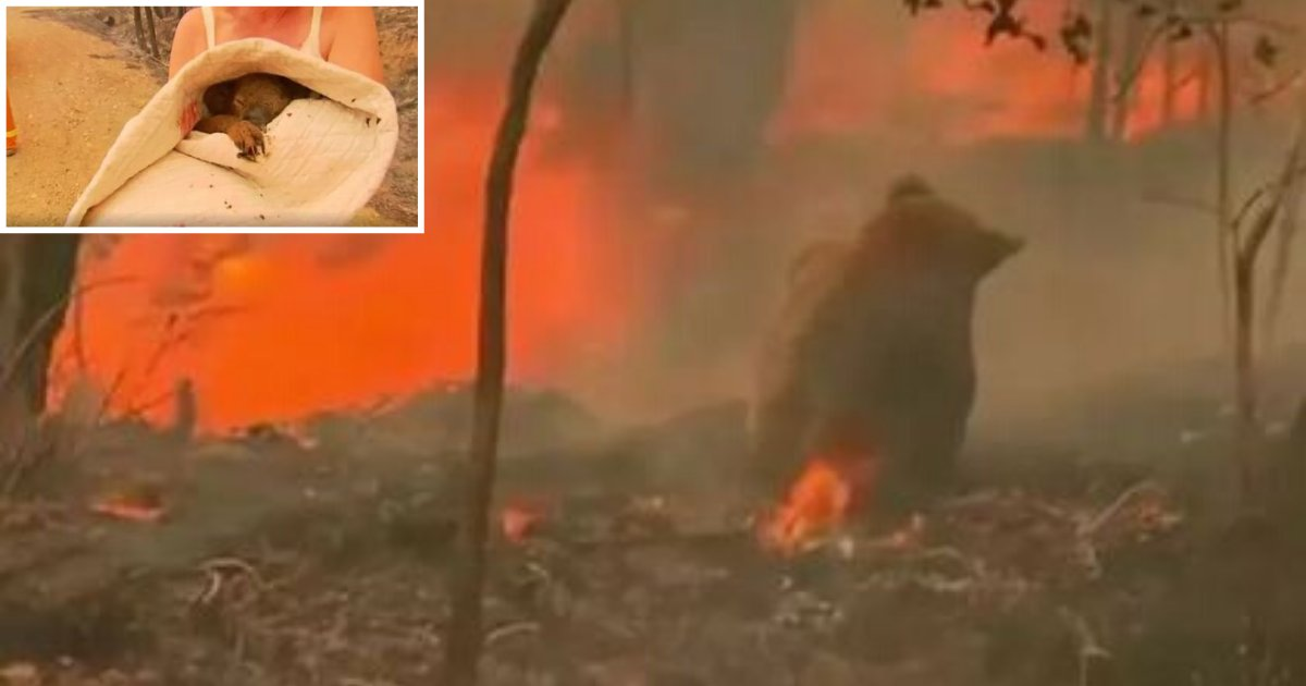 6 12.png?resize=412,232 - Brave Woman Rescued A Trapped Koala Bear From the Raging Bush Fires