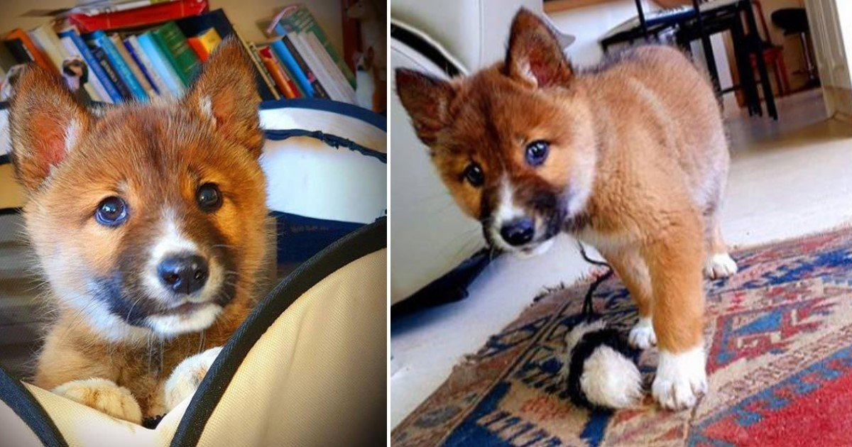 a 22.jpg?resize=1200,630 - Adorable Puppy Found In A Woman's Backyard Turned Out To Be A Pure-Bred Dingo