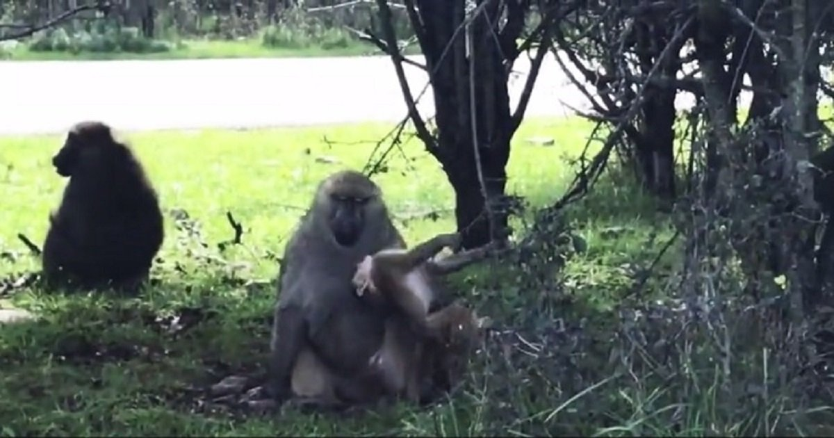 b3 7.jpg?resize=412,232 - Adult Baboon Patiently Watched Young Baboons Play