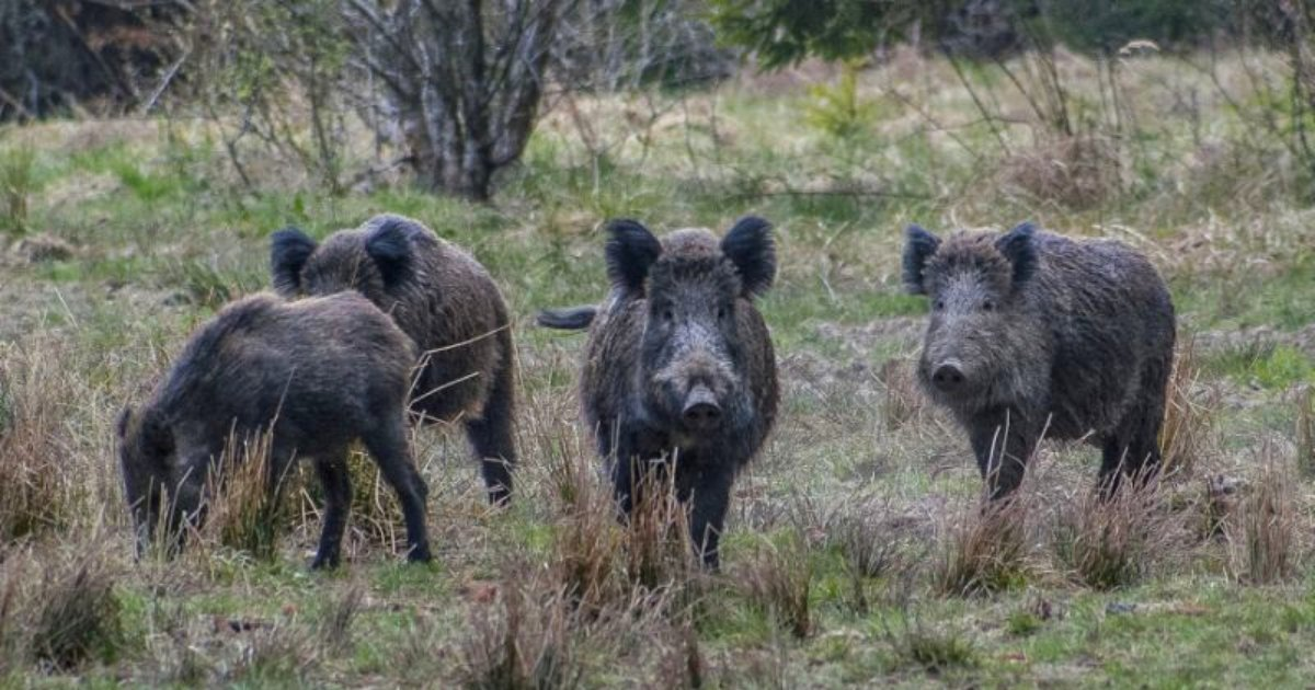 boars.png?resize=412,232 - Wild Boars Left High After Eating Stash Of Cocaine Worth $21K Buried In A Forest