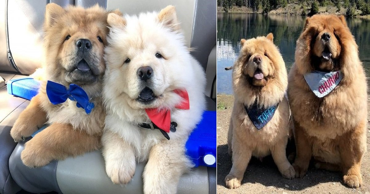 c3 4.jpg?resize=1200,630 - A Pair Of Chow Chows Are Inseparable Friends Who Love To Do Everything Together