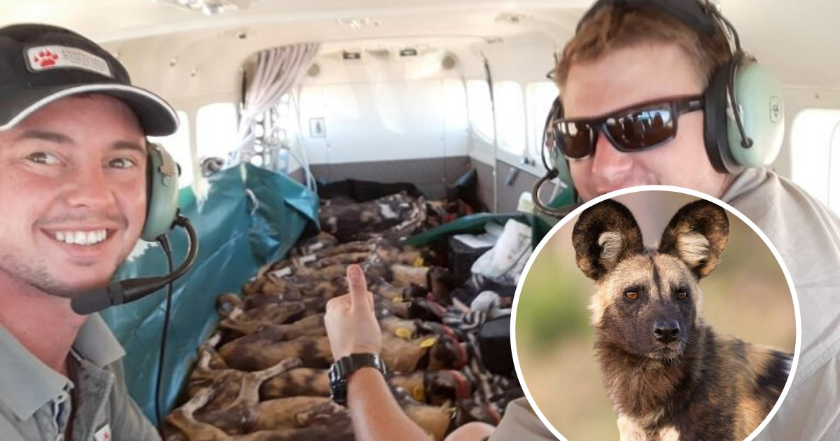 canines.png?resize=412,232 - Entire Pack Of 15 African Wild Dogs Slept On Plane From South Africa To Mozambique