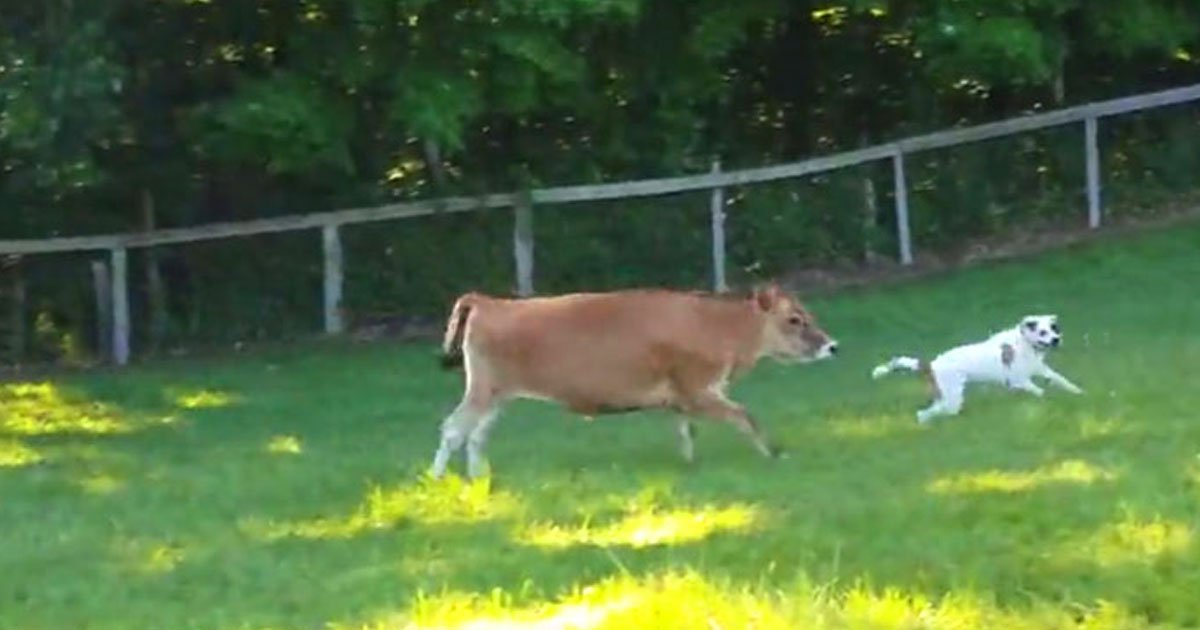 cow dog playing.jpg?resize=412,232 - Video Of A Cow And A Dog Playing And Enjoying A Sunny Day