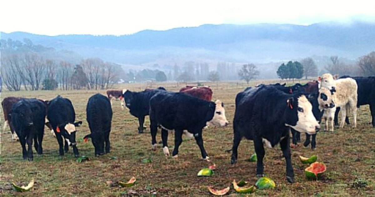 cows4.png?resize=412,232 - Farmer Who Was Too Broke To Feed Pregnant Cows Wrote A Heartbreaking Letter