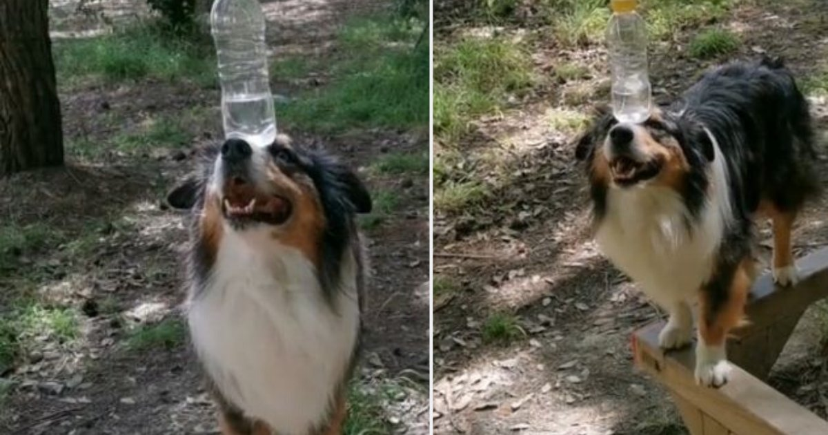 d6.png?resize=412,232 - An Australian Shepherd Balances A Water Bottle By Walking On A Thin Bar and Making a 90 Degrees Bend