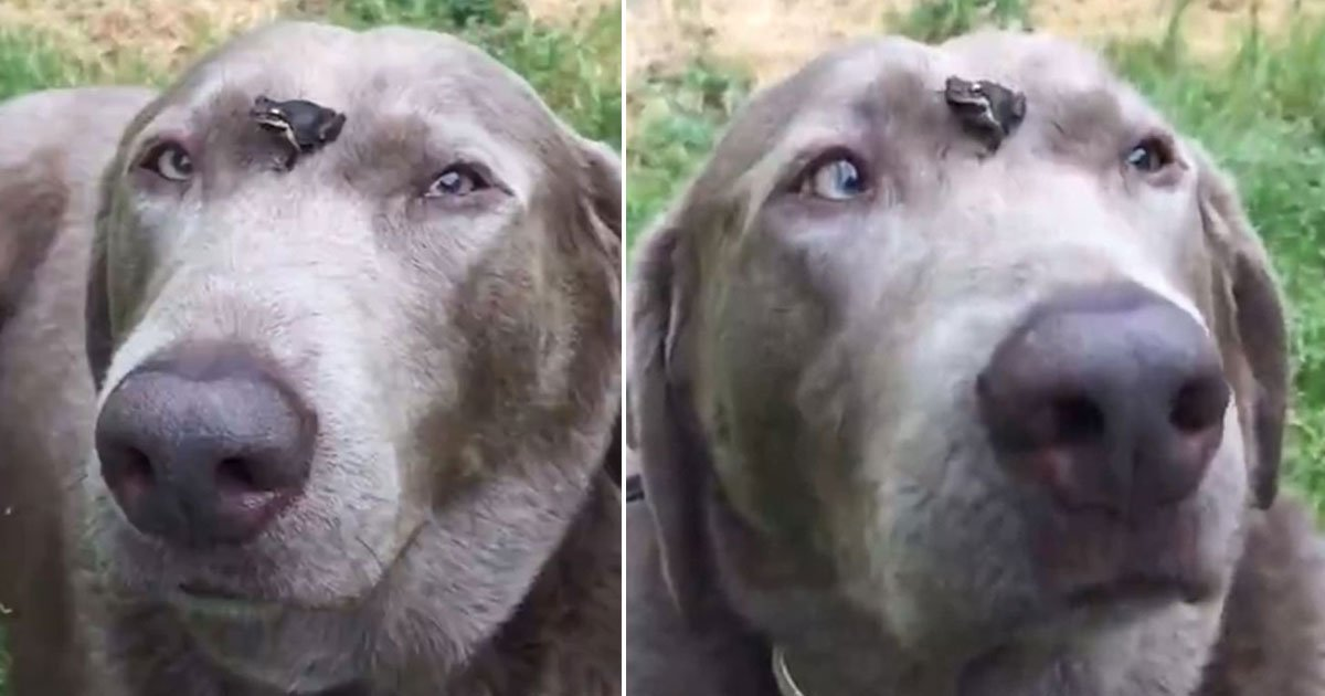 dog frog sit face.jpg?resize=412,232 - Kind-Hearted Dog Let A Tiny Frog Sit On Its Face