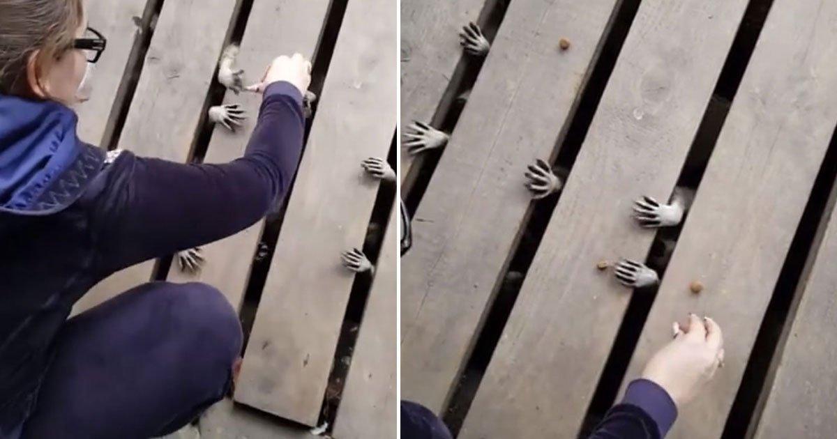 family feeding raccons.jpg?resize=412,232 - Video Of A Family Feeding Raccoons Hiding Under Their Front Door Deck