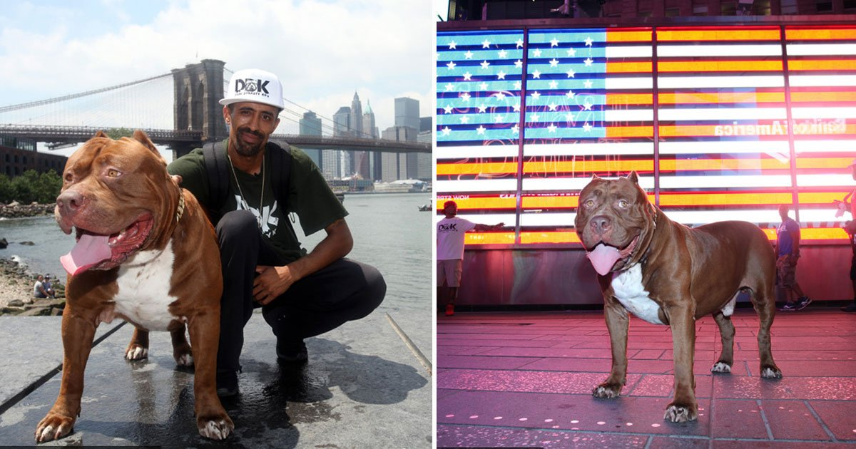 hulk meet fans nyc.jpg?resize=412,232 - The World's Biggest Pitbull Hulk Met His Fans During His Trip To NYC