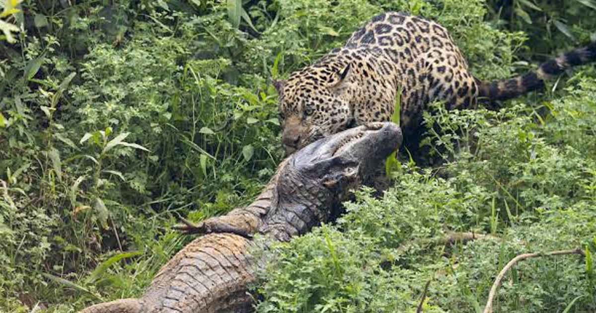 jaguar caiman fighting.jpg?resize=412,232 - Wildlife Photographer Captured A Jaguar And A Caiman Wrestling In A Jungle