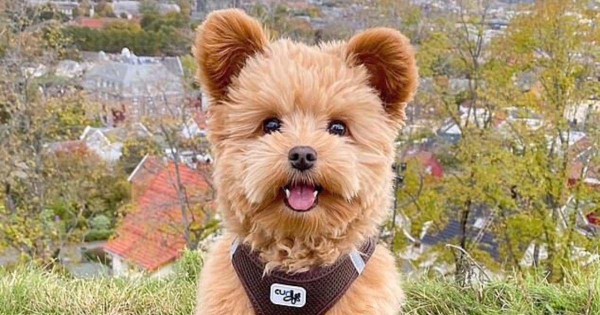 oliver6.png?resize=412,232 - Puppy That Looks Like A Teddy Bear Becomes An Internet Sensation