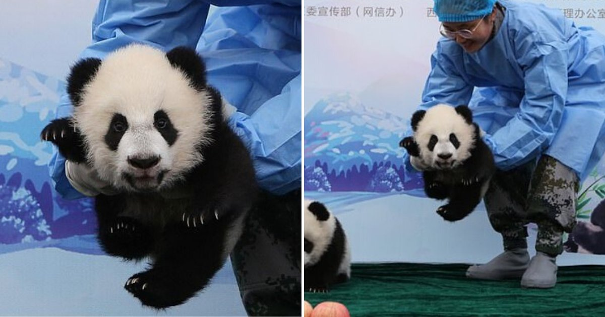 panda7.png?resize=412,232 - Baby Panda Smiled And Waved At The Camera As It Greeted The Public For The First Time