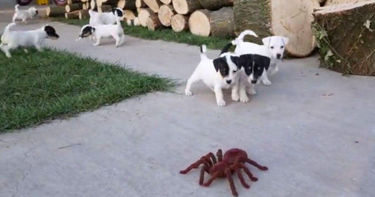 pups scared of robot spider.jpg?resize=1200,630 - Vidéo mignonne : 10 bébés Jack Russell sont effrayés par une fausse araignée géante