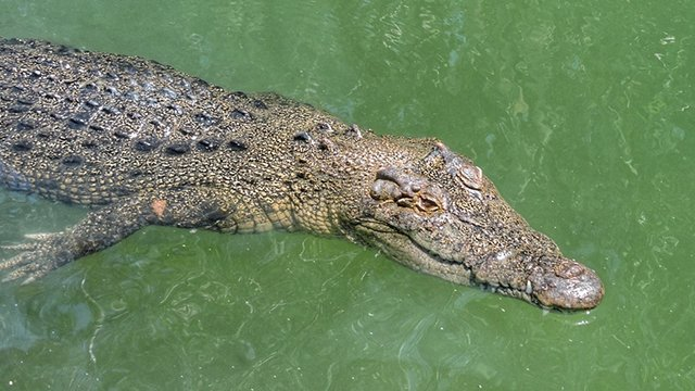 shutterstock 13.jpg?resize=412,232 - A Woman Stumbled Upon A Crocodile While Walking Home From Work