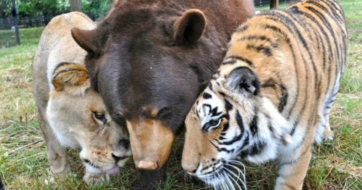 trio7.png?resize=412,232 - Bear, Lion And Tiger Were Rescued As Cubs, They Became Best Of Friends