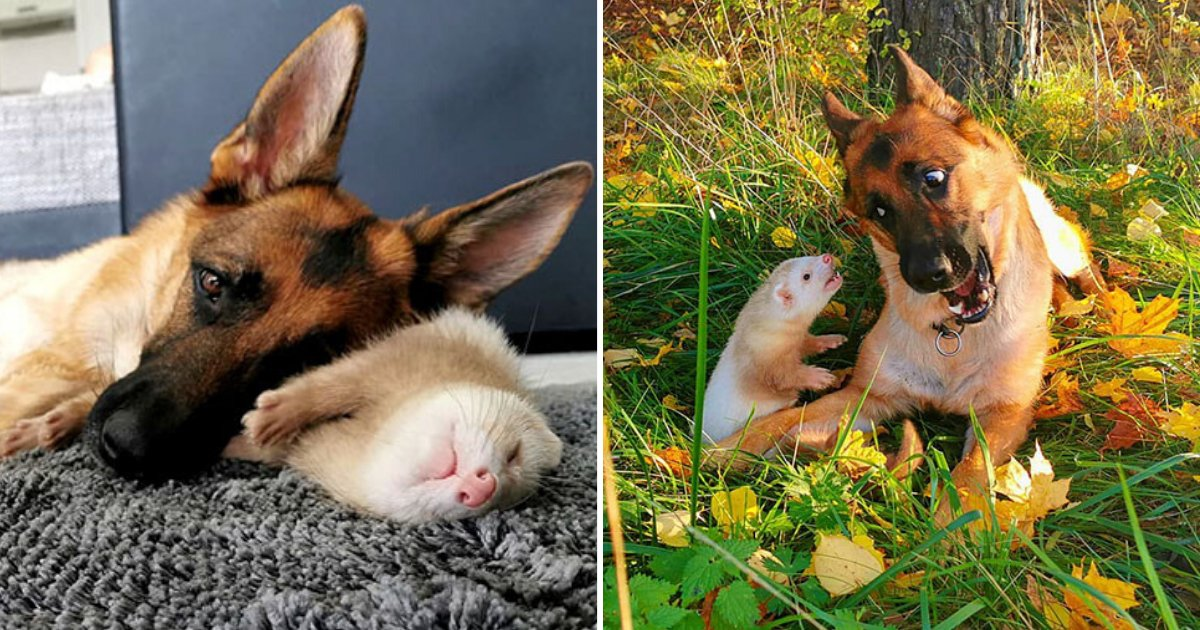 untitled design 2019 11 10t134221 359.png?resize=1200,630 - German Shepherd And Ferret Make Unlikely Best Friends