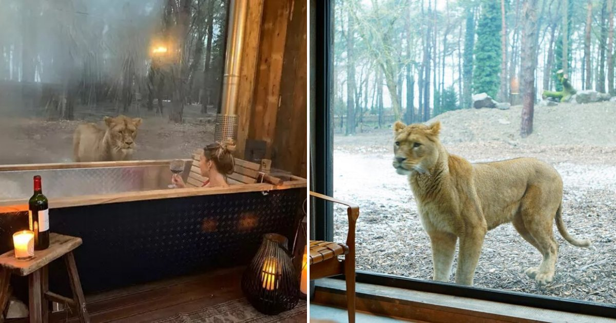 untitled design 79.png?resize=412,232 - Hotel Allows Guests To Sleep Just Inches Away From Real Lions