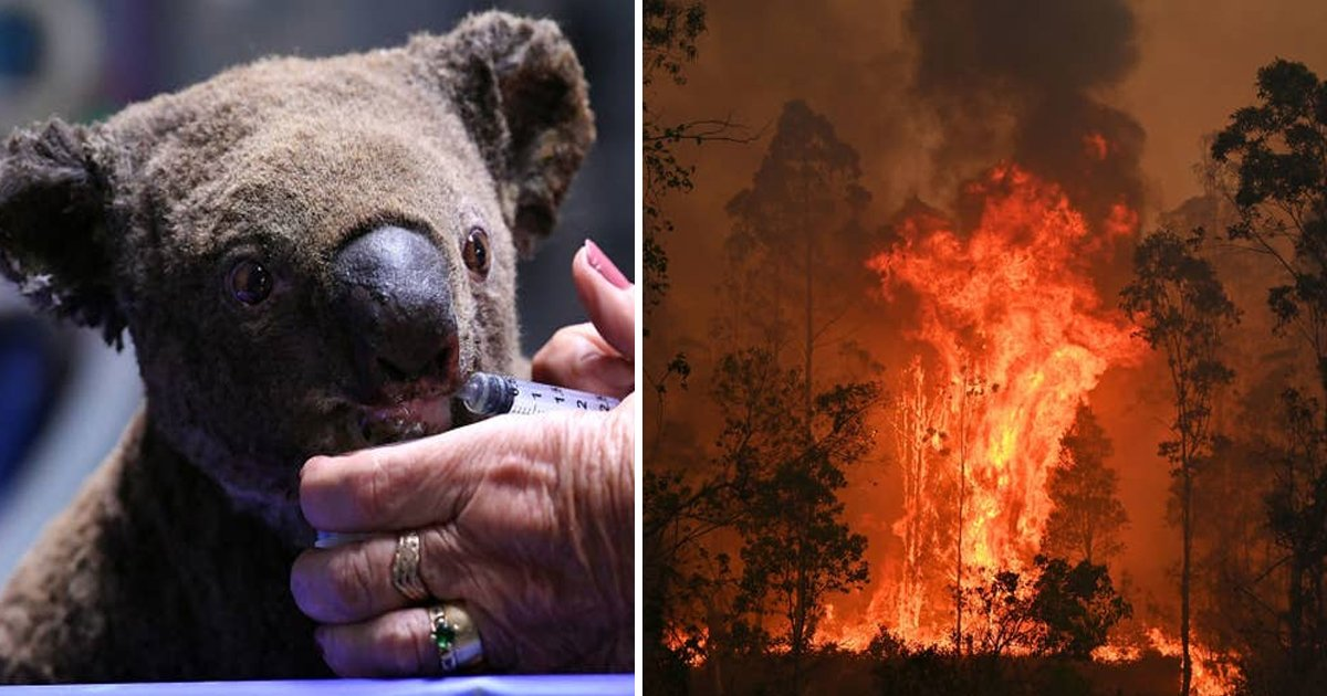 vvvsdf 1.jpg?resize=1200,630 - Koalas Are Getting Treatment For Burns And Dehydration Which They Caught From Australia's Deadly Forest Fire