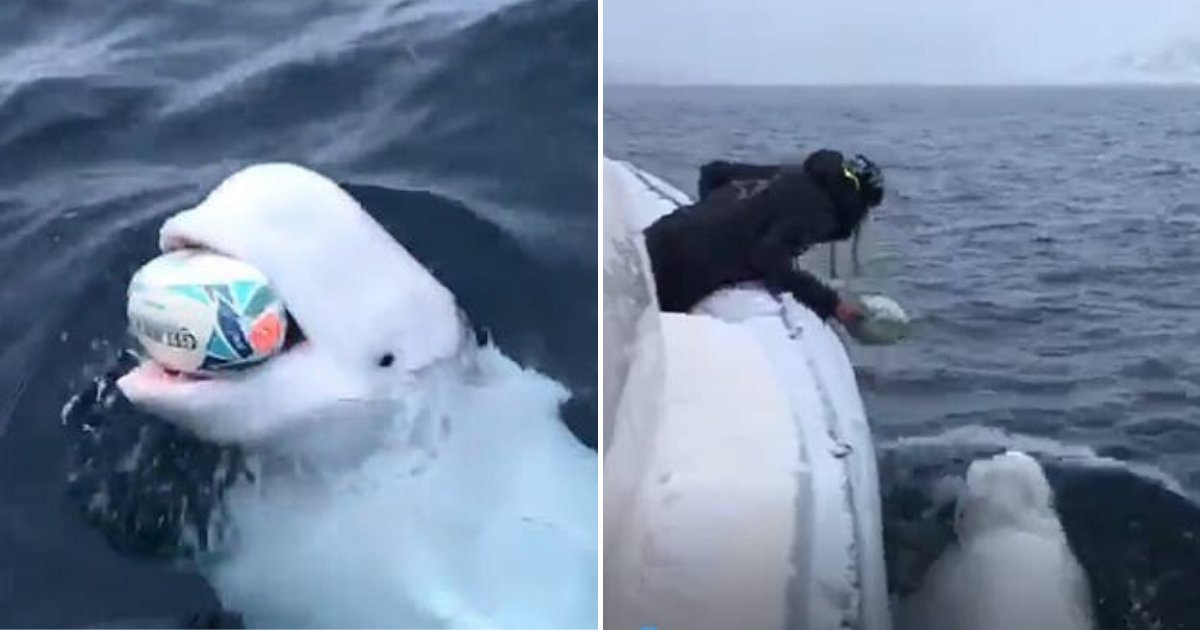 whale6.png?resize=412,232 - People Think The Whale Who Was Seen Playing Catch In Viral Video May Be A Russian Spy