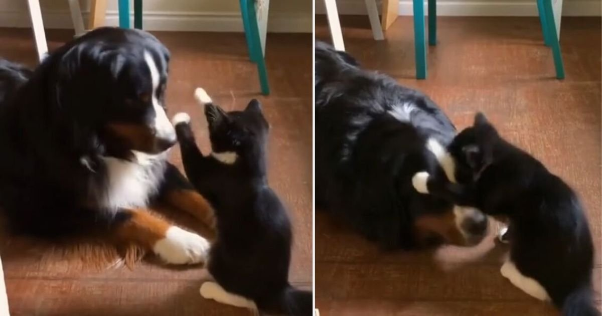 y2 7.jpg?resize=412,232 - Cat Tries to Scare The Dog Showing Her Paws, Telling Him Who Is Boss