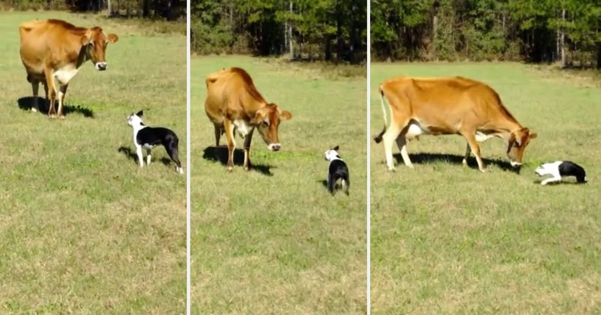 y3 8.jpg?resize=412,232 - Boston Terrier Comes Across A Cow and Their Interaction Is Priceless