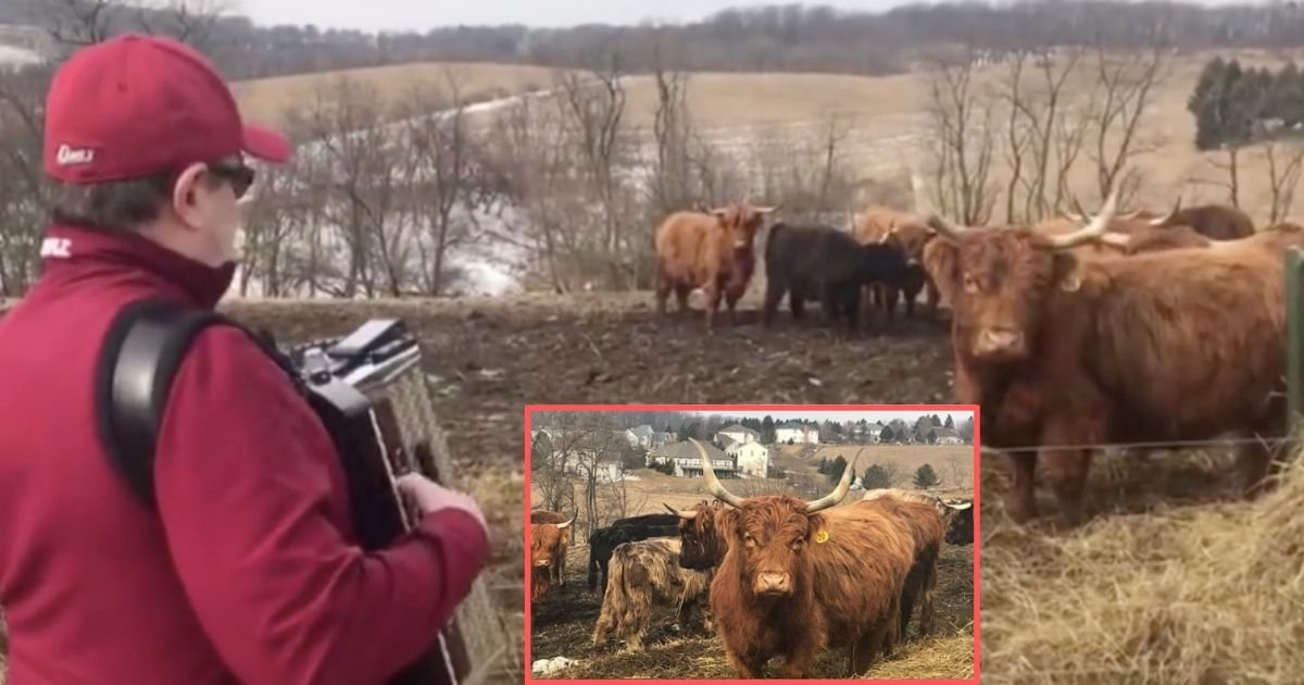 y5 6.jpg?resize=412,232 - Scottish Highland Cattle React to Accordion Music