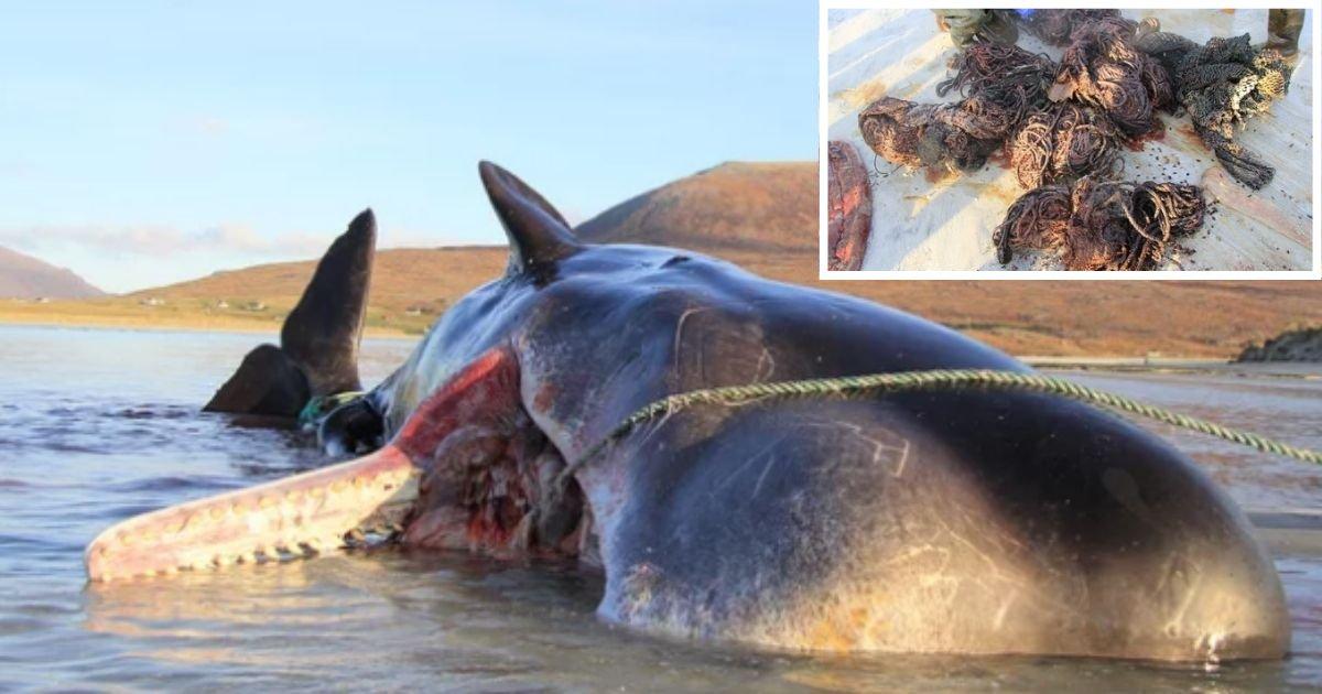 1 3.png?resize=300,169 - Un cachalot est retrouvé mort, échoué sur une plage avec 100 kg de déchets dans l'estomac