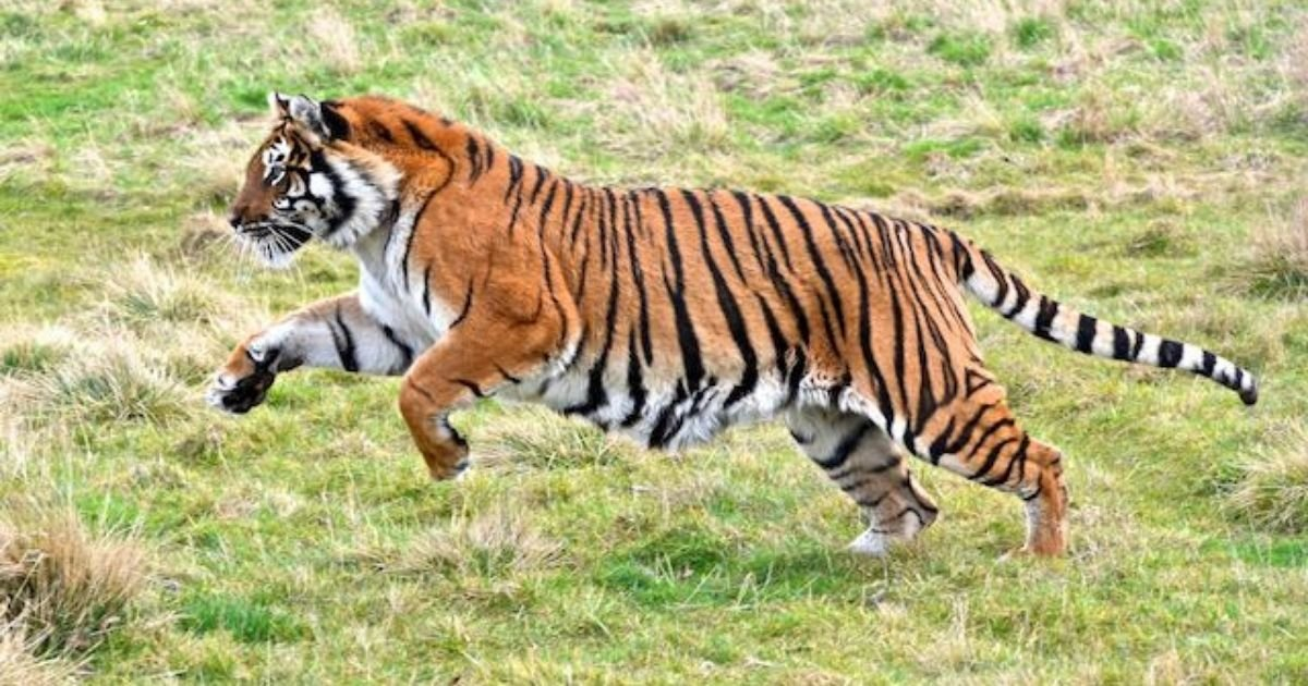 1 52.jpg?resize=412,232 - Tiger Traveled 808 Miles, Making It the Longest Walk Ever Recorded