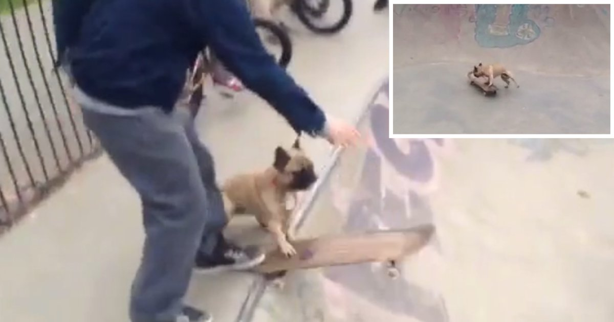 1 8.png?resize=412,232 - Watch This French Bull Dog Showing Off His Moves