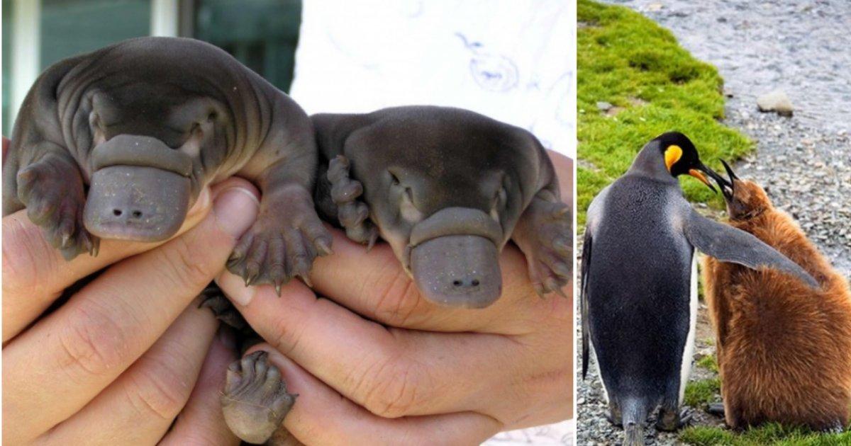 3 3.png?resize=300,169 - 18 bébés animaux trop mignon que vous n'avez sans doute jamais vu