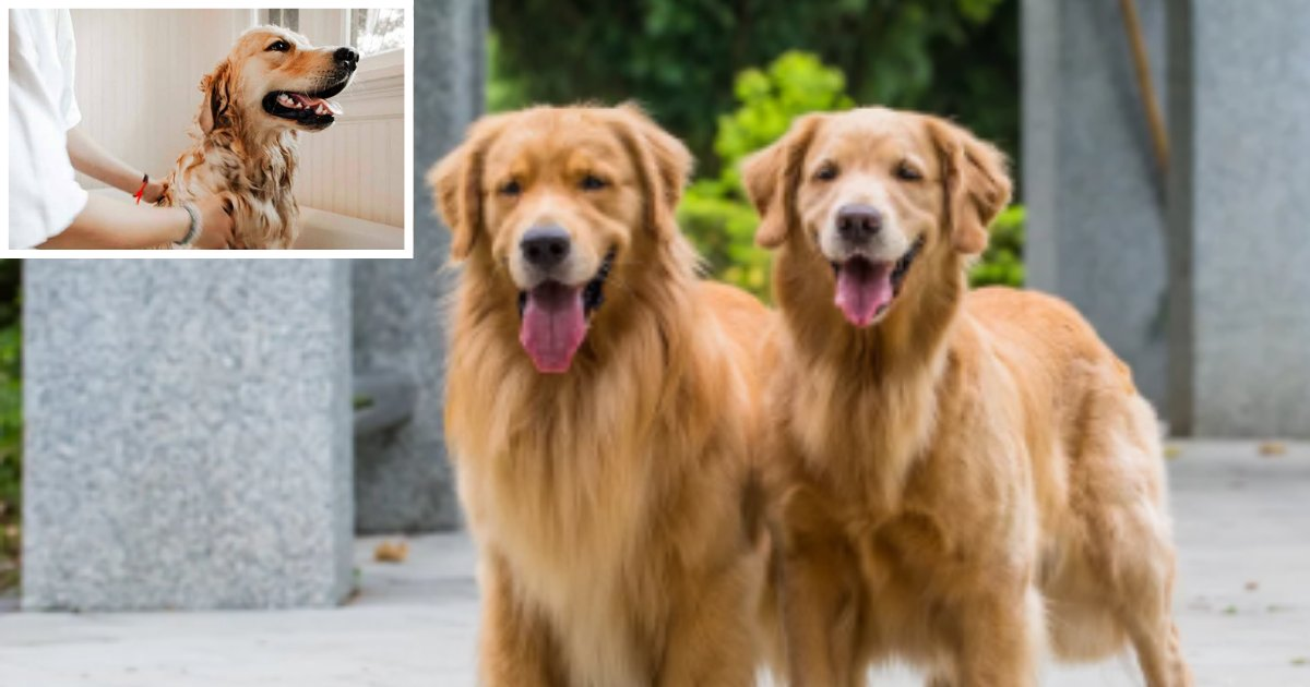 4 2.png?resize=1200,630 - This Couple is Offering $40K to Someone Who Can Take Care of Their Golden Retrievers