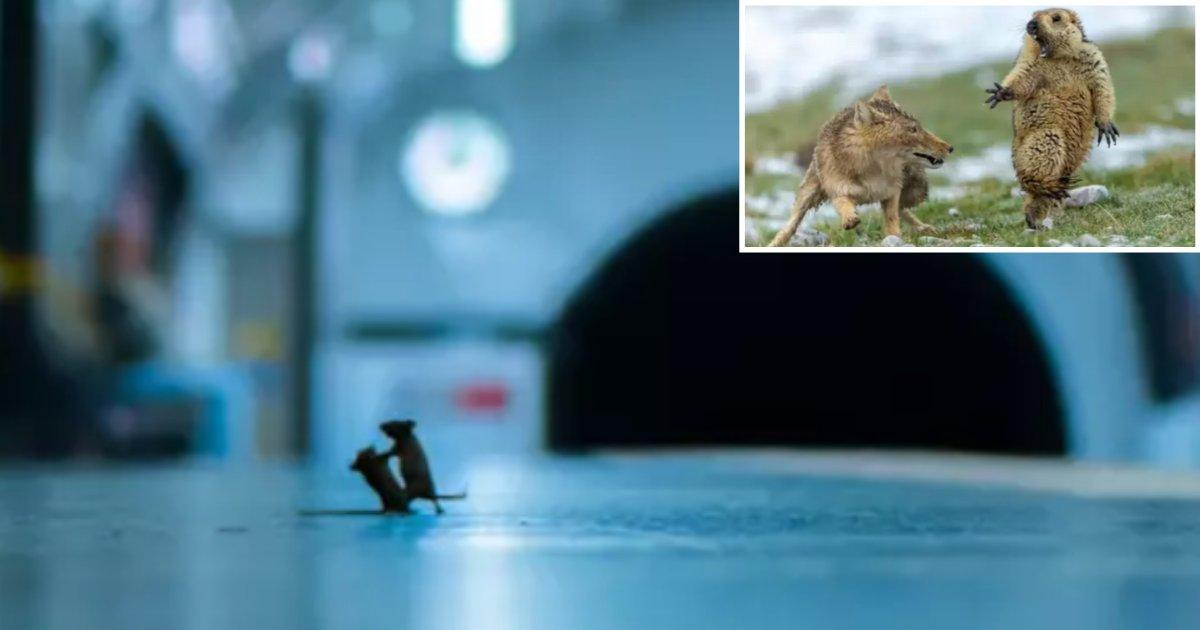 4 34.png?resize=300,169 - Photo incroyable : Une bataille de souris dans le métro de Londres