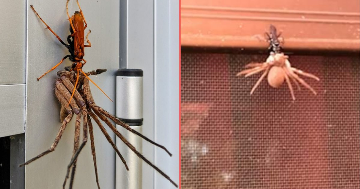 4 42.png?resize=412,232 - An Incredible Photo Captured A Hawk Wasp Dragging a Dying Huntsman Spider For a Feast