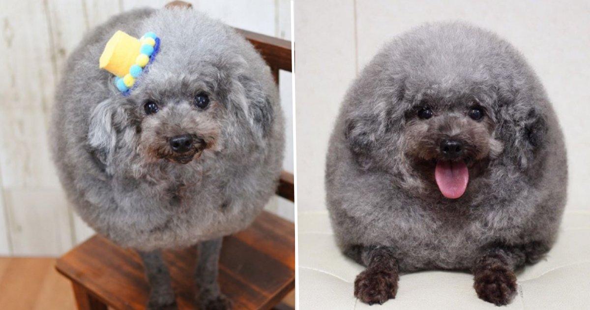 5 59.png?resize=412,275 - Ce chien sorti tout droit du toiletteur est devenu une star sur Internet
