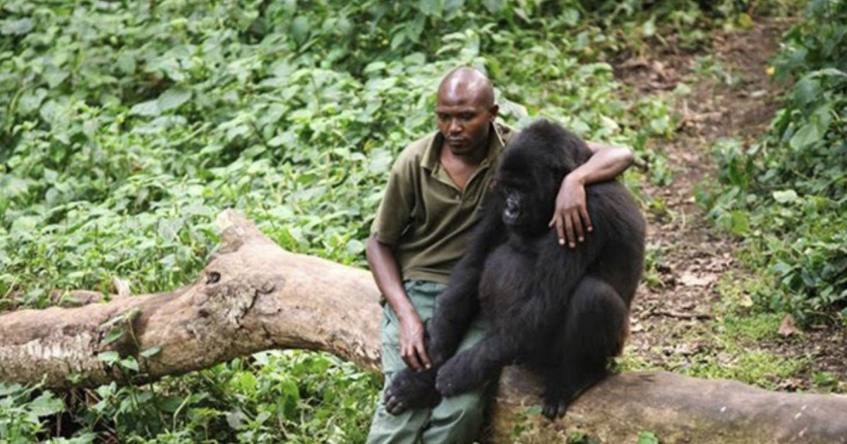 a 76.jpg?resize=412,232 - Park Ranger Hugged The Gorilla To Comfort Him After He Lost His Mother