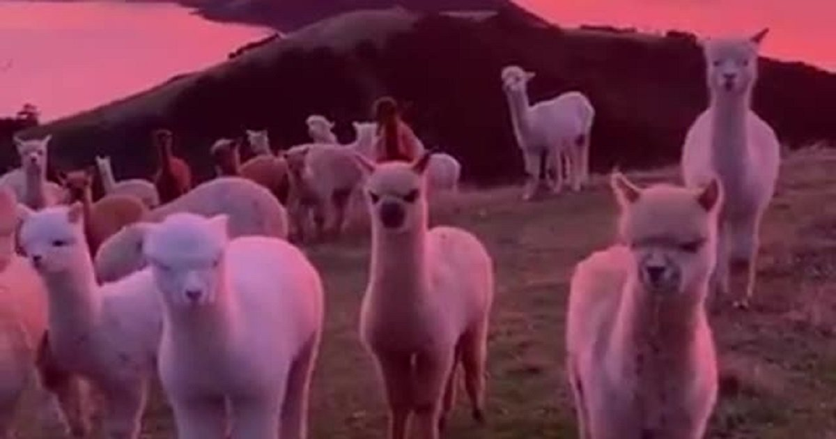 a3.jpg?resize=412,232 - A Herd Of Alpacas Peacefully Grazed Around During A Magnificent Sunset