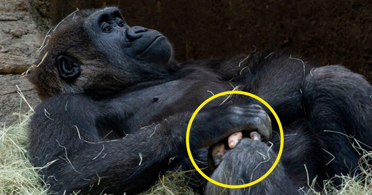 anaka7.png?resize=1200,630 - Mère nature: Un gorille est né avec des doigts ressemblants à ceux des humains