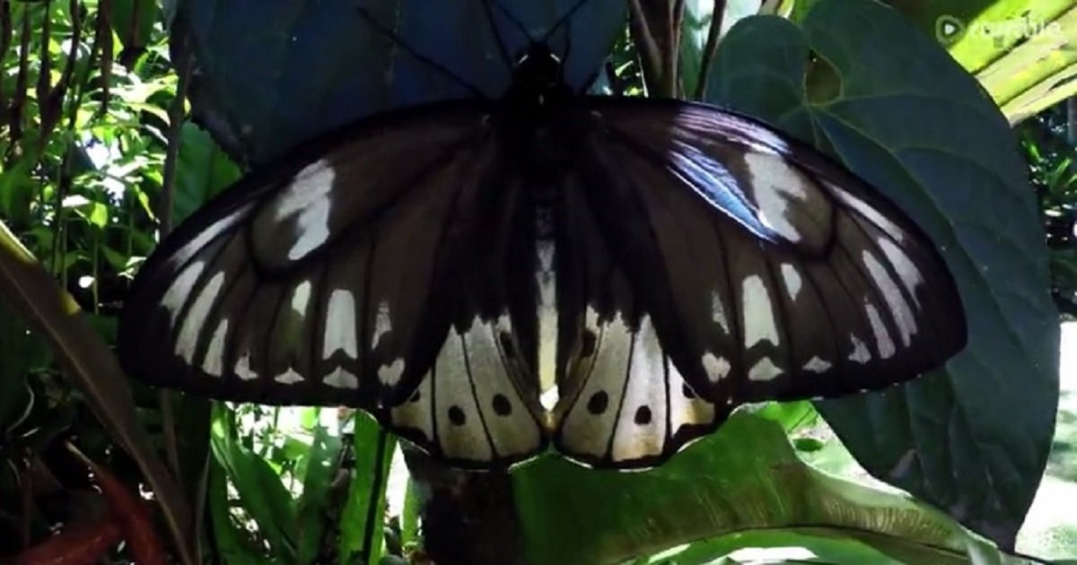 b3.jpg?resize=412,232 - Birdwing's Magical Transformation From A Caterpillar To A Full-Fledged Butterfly