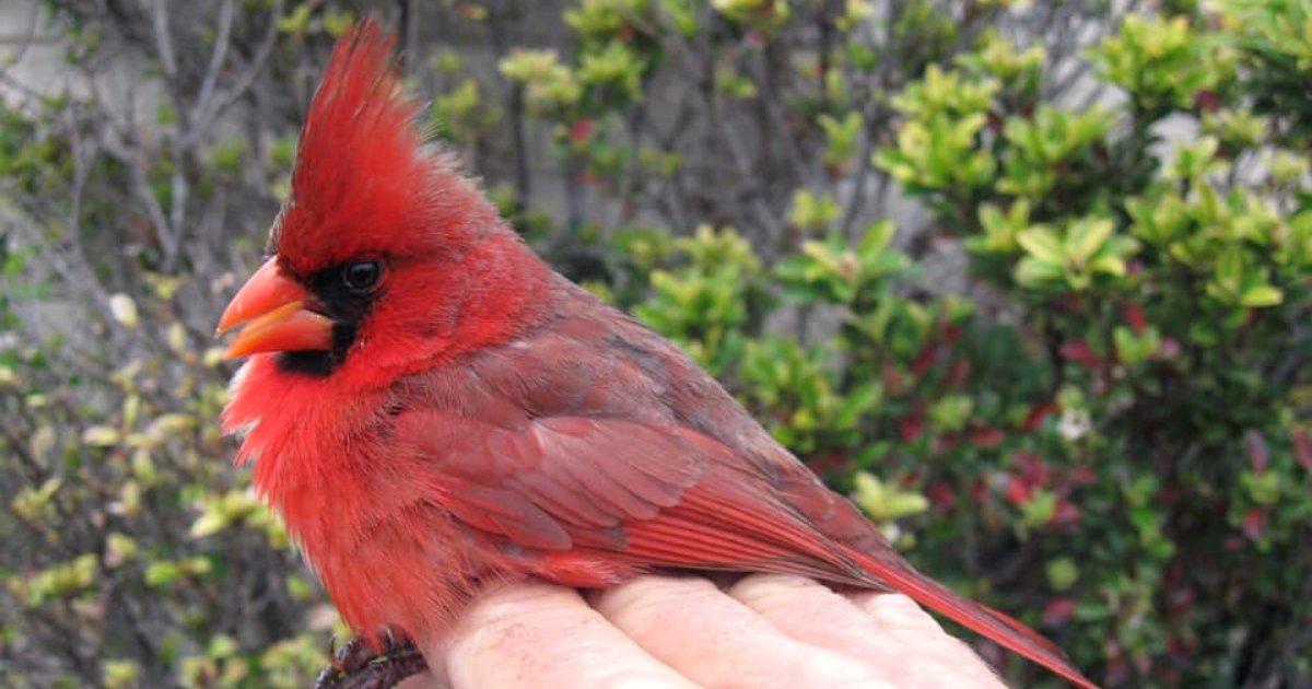 bird5.png?resize=300,169 - Un oiseau avec une anomalie génétique rare apparaît mâle d'un côté et femelle de l'autre côté