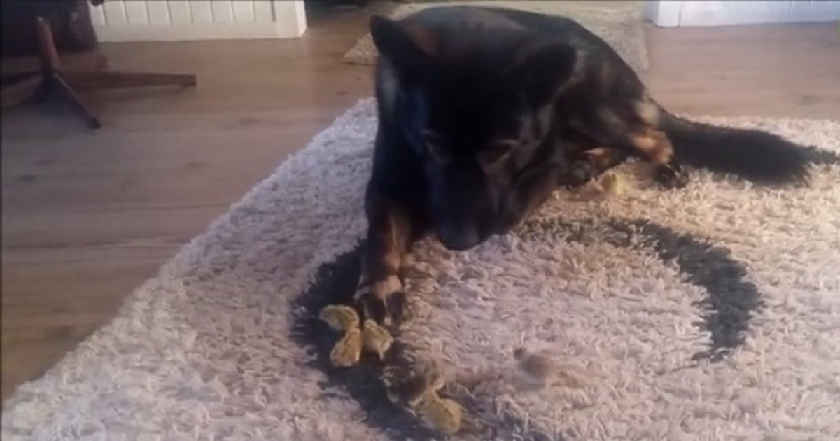 c3 1.jpg?resize=1200,630 - A German Shepherd Met Newly Hatched Chicks For The First Time