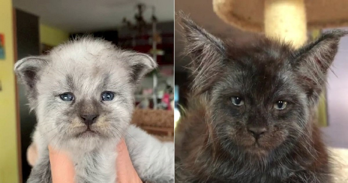 """c3 3.jpg?resize=412,232 - A Woman Used Selective Breeding To Produce Cats With Recognizable """"Human Faces"""""""
