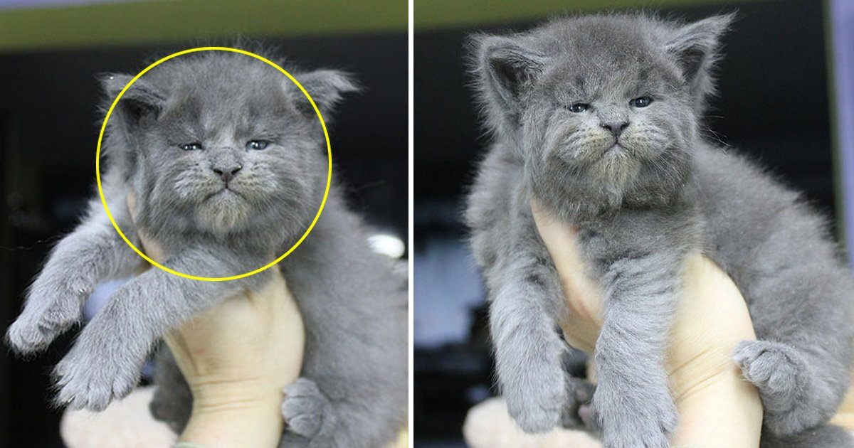 fsdfdsf.jpg?resize=412,232 - An Entire Litter Of Maine Coon Kittens Were Born With 'Grumpy' Faces And They're Adorable