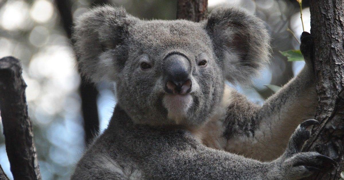 koala 843306 19201.jpg?resize=300,169 - Incendies en Australie : un tiers des koalas pourraient avoir été tués en Nouvelle-Galles du Sud