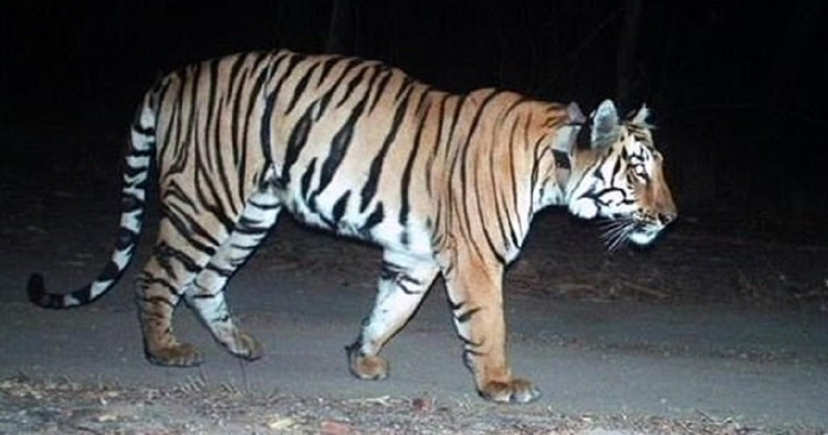 t3 2.jpg?resize=412,232 - People Are Captivated By A Tiger That Traveled 807 Miles To Find A Mate