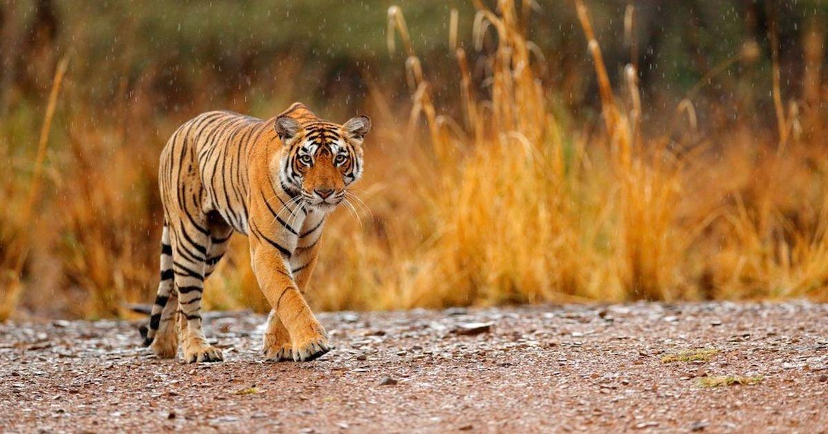 tigre sauvage.jpg?resize=300,169 - Laos : le tigre sauvage est officiellement une espèce disparue dans le pays