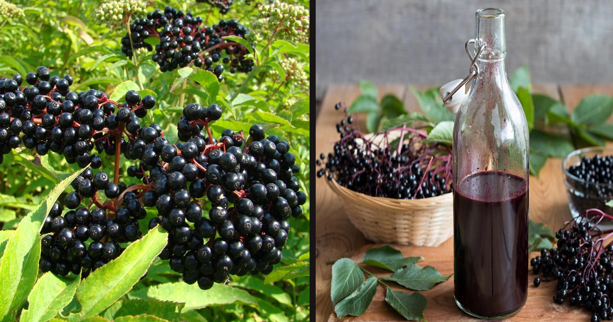 untitled 1 80.jpg?resize=412,232 - Elderberry May Help To Ease Some Of Your Cold Symptoms