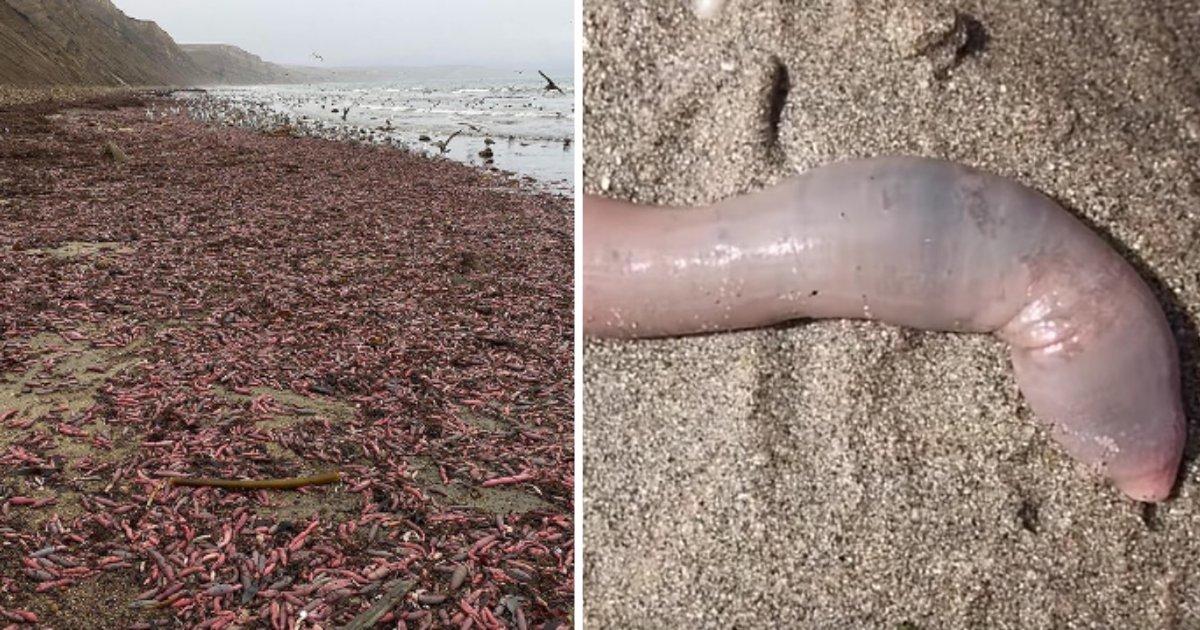 untitled design 1 11.png?resize=300,169 - Des milliers de poissons ressemblant à des organes génitaux masculins sont apparus sur une plage de Californie