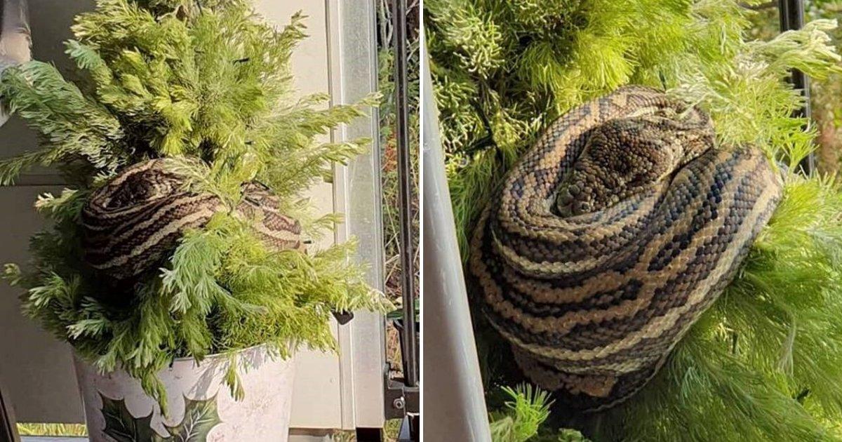 untitled design 11.png?resize=300,169 - En rentrant chez elle, une femme découvre une nouvelle décoration au sapin : un python géant