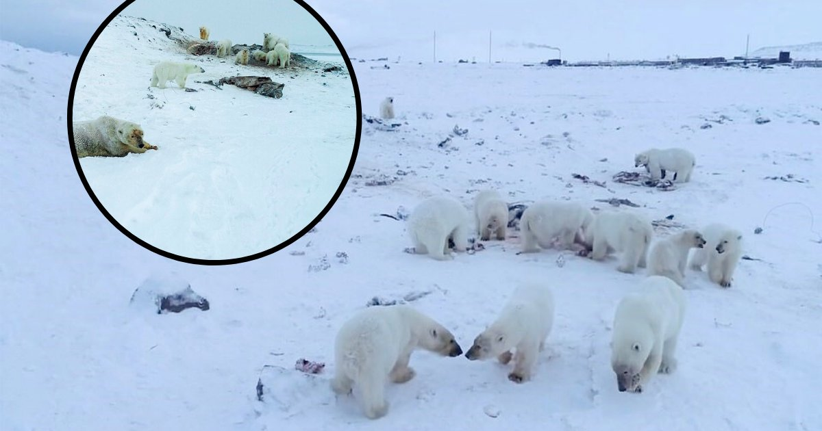 untitled design 74.png?resize=412,232 - Remote Village Besieged By Over Fifty Hungry Polar Bears That Are Looking For Food