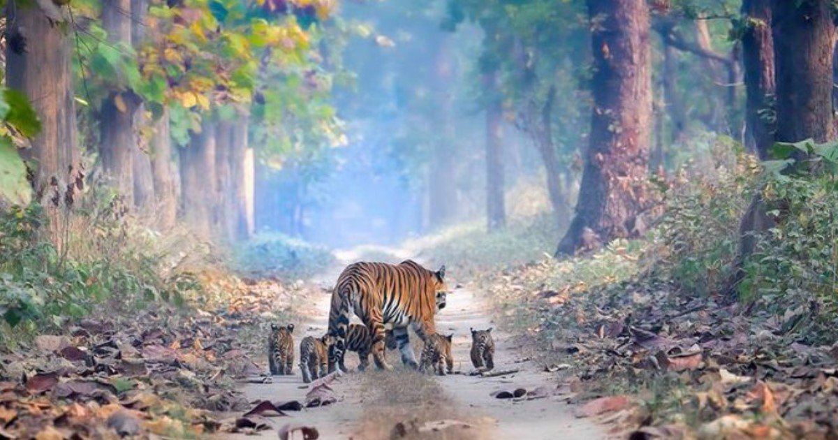 1 117.jpg?resize=1200,630 - A Magical Photo Of Tiger Roaming With Her Five Cubs Went Viral