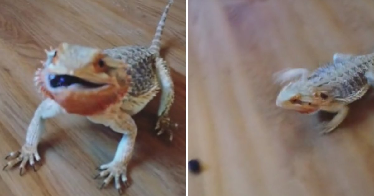 1 27.png?resize=1200,630 - Cute Bearded Dragon Loves to Eat Blueberries